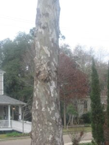 Covington Tree:A living tree not without sickness (reminds me of the church)